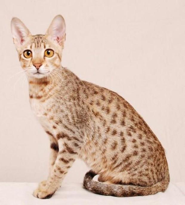 Kucing allerca hypoalergenic