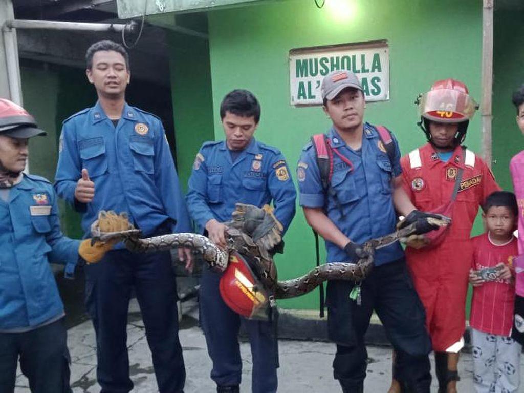 Damkar Bogor Jebol Plafon Rumah Warga untuk Evakuasi Ular Sanca 4 Meter