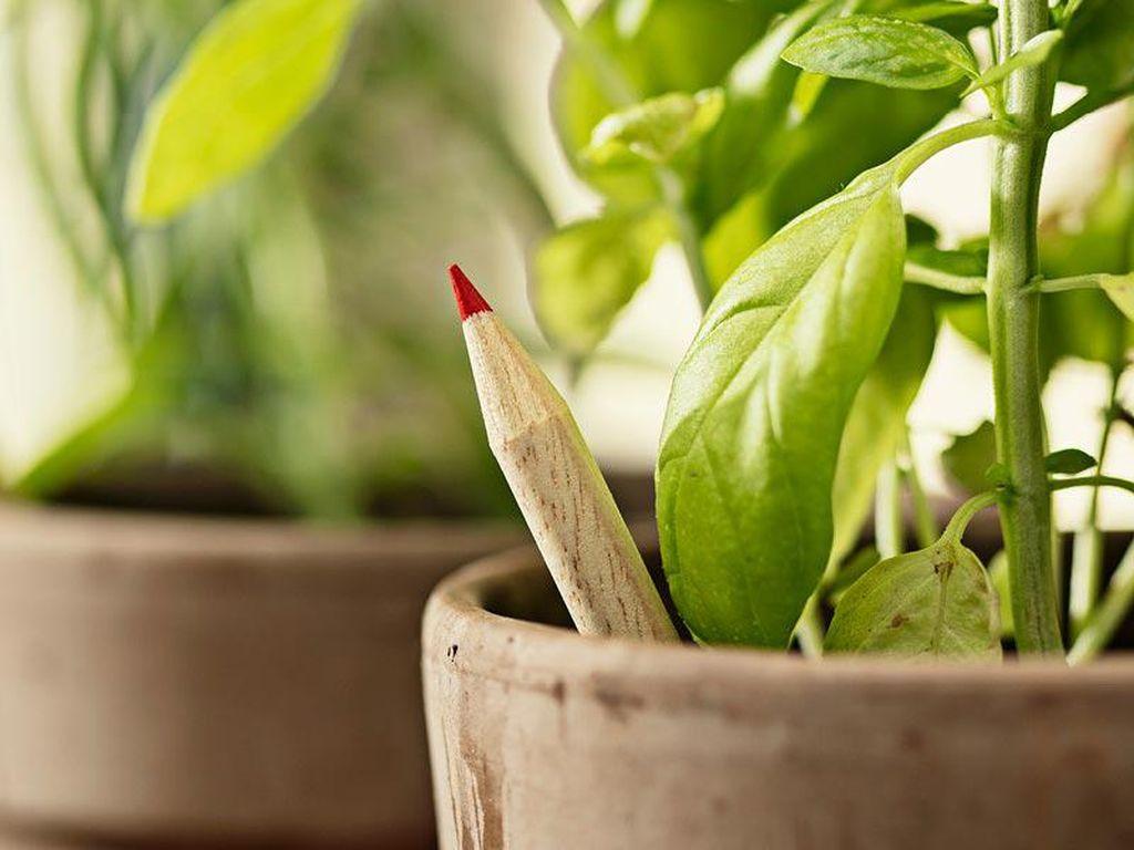 Keren! Pensil Ajaib Ini Bisa Ditanam Jadi Tomat hingga Basil