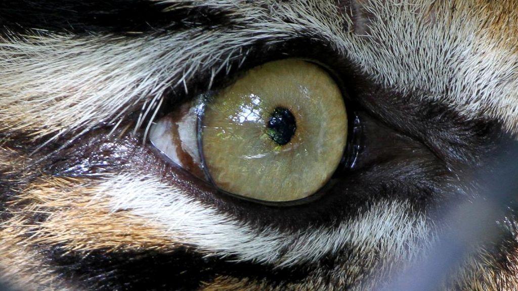 Upaya Pelepasliaran Harimau Sumatera ke Habitatnya