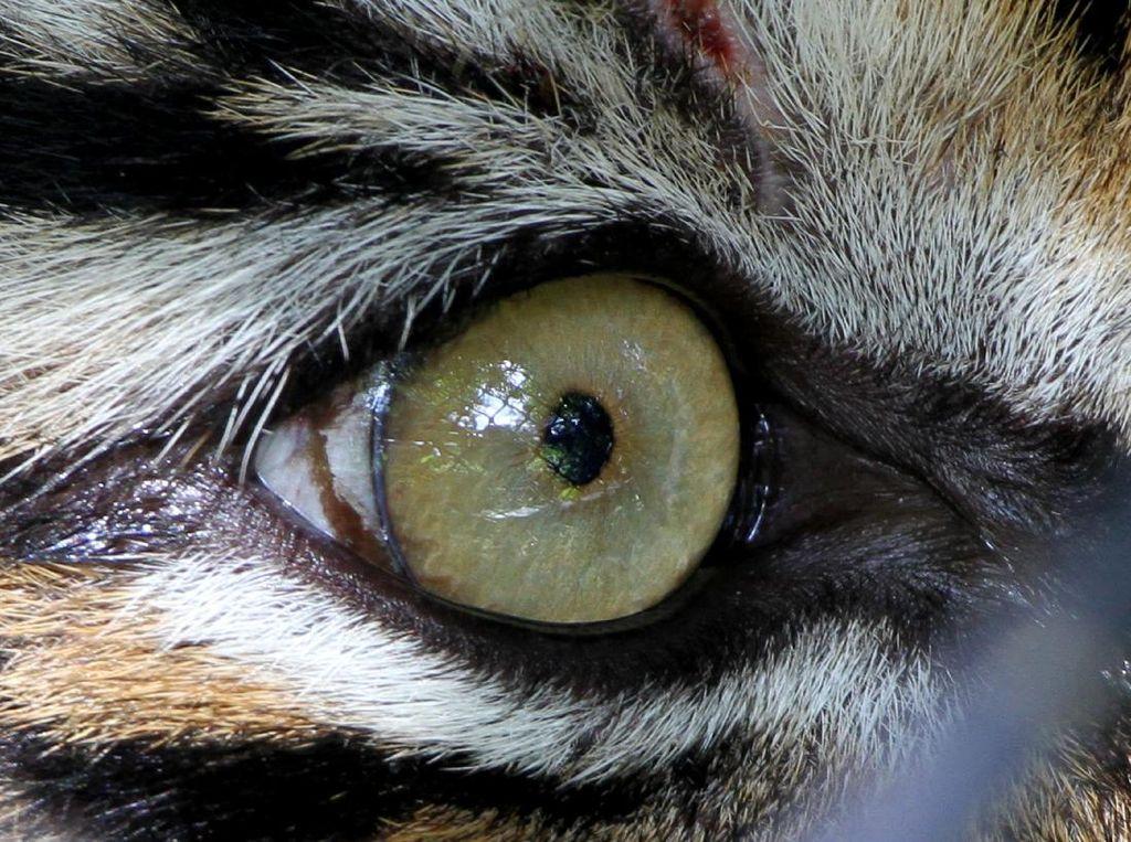 Cap Punah ke Harimau Jawa Dianggap Bikin Pemburu Bebas Membunuh