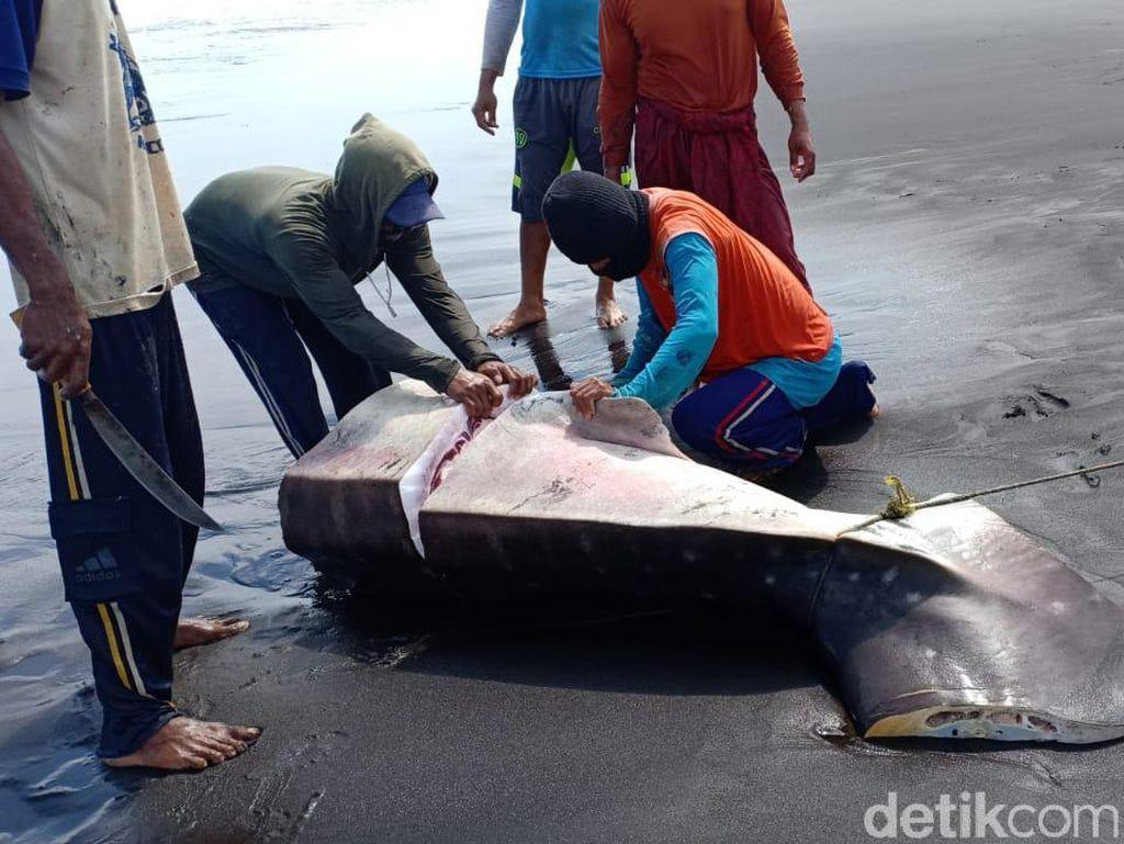 Mati Terperangkap Jaring Nelayan, Hiu Paus Dipotong Jadi Santapan Warga