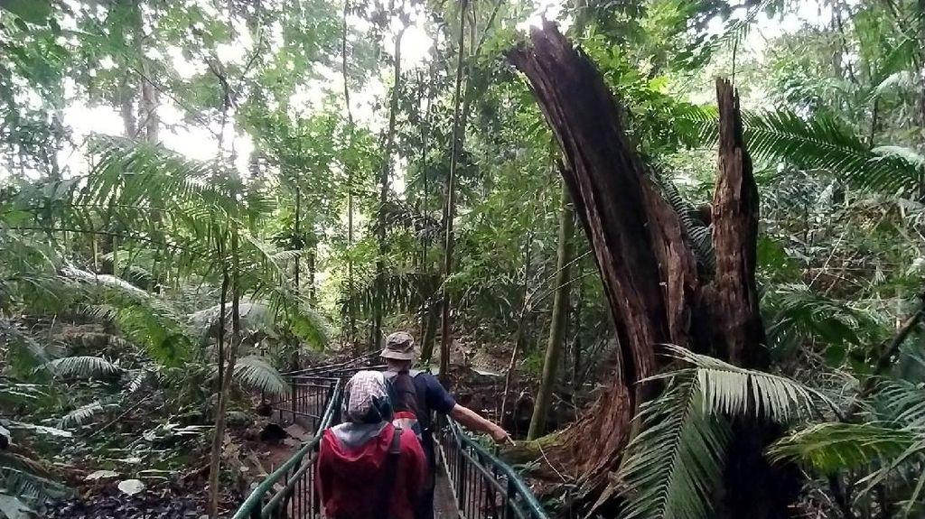 Foto: Berani Tebang Pohon di Hutan Ini, Siap-siap Dihantui Maung