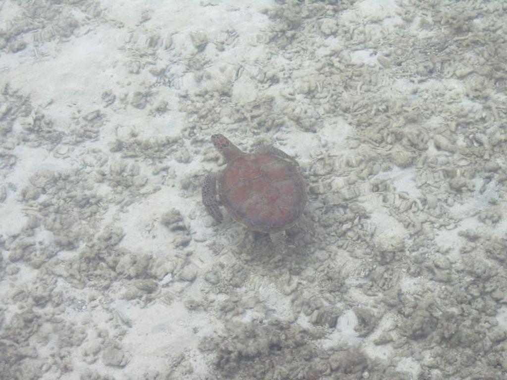 Wah, Ternyata 2 dari 7 Spesies Penyu Dunia Ada di Pulau Pramuka