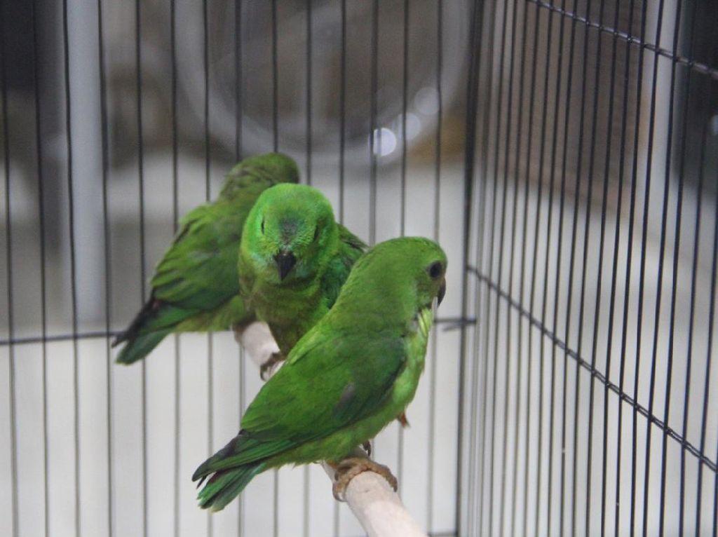 Penyelundupan Burung Serindit Digagalkan, Pelaku Masih Diburu