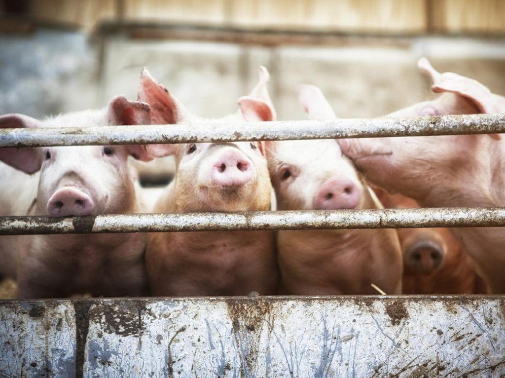 Duh, China Temukan Strain Baru Flu Babi!