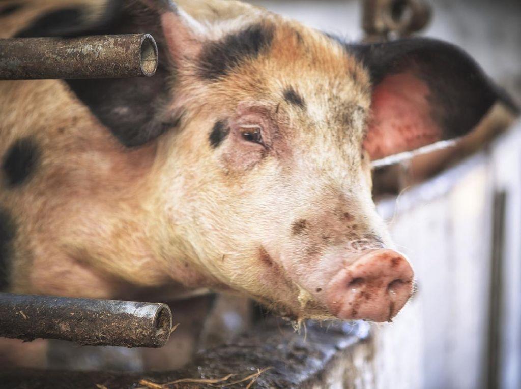 Duh! Masjid Abad ke-18 di Armenia Jadi Kandang Babi