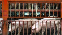 Tak Hanya Ginjal, Organ Babi Ini Juga Pernah Didonorkan ke Manusia