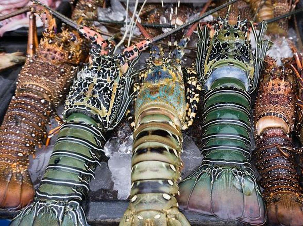 Heboh Ekspor Benih Lobster, 5 Daerah Ini Jadi Penghasil Lobster Unggulan