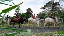 Yuk, Berkunjung ke Kampung Sapi Raksasa yang Viral di Boyolali