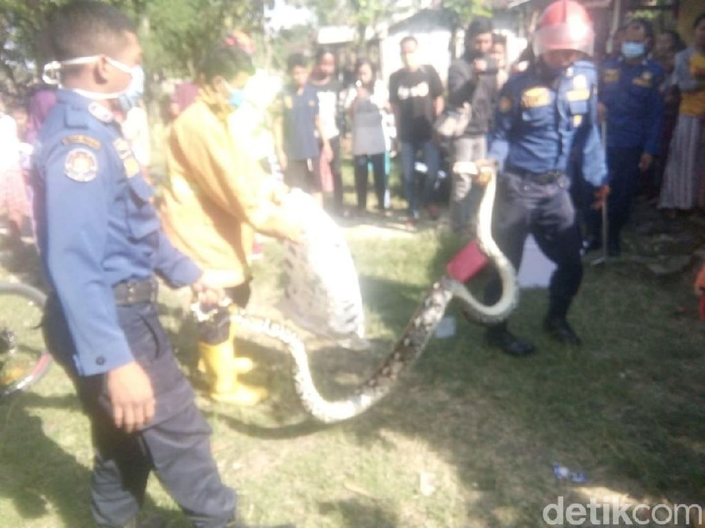 Masuk Rumah Warga, Ular Sanca 2,5 Meter Ditangkap Warga Bojonegoro