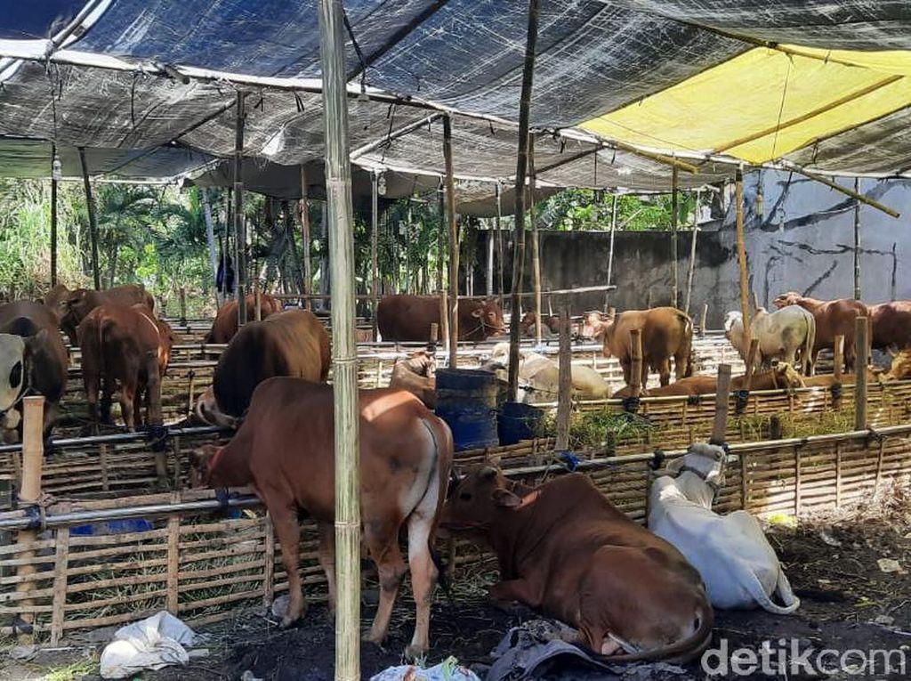 Penjual Hewan Kurban di Surabaya Kurangi Penjualan hingga 50% Saat Pandemi