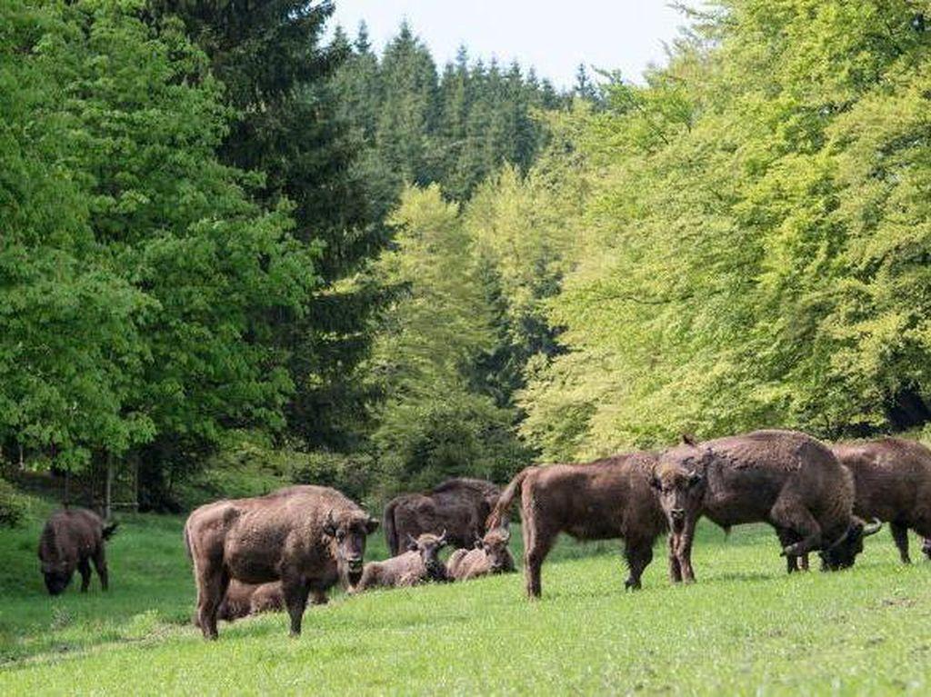 Bison Kembali ke Hutan Inggris yang Minim Satwa Liar