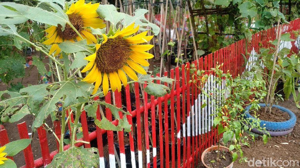 Foto: Kebun Cengek Pangandaran, Pedas tapi Cantik