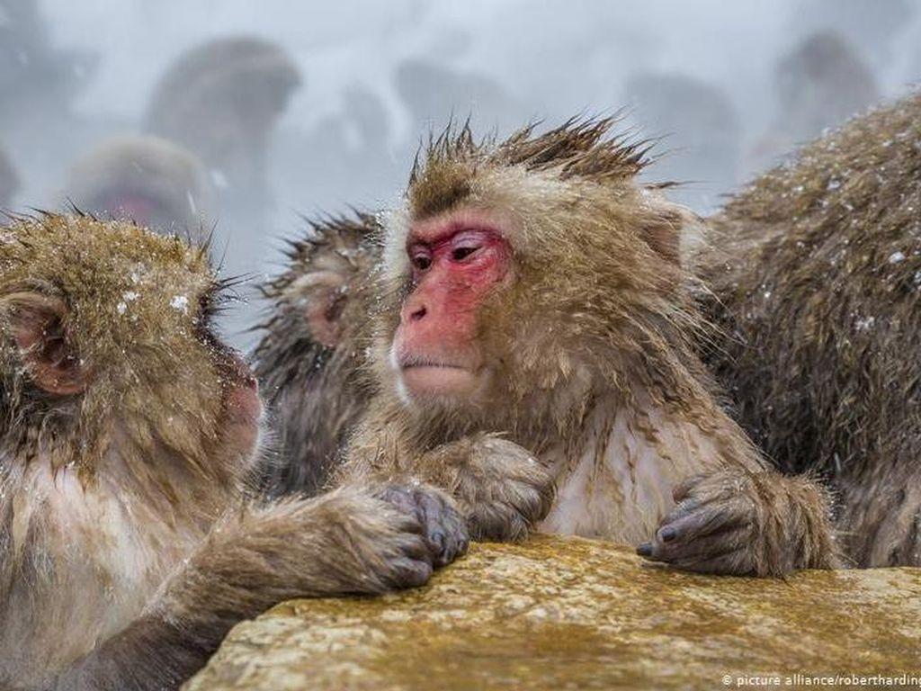 Ternyata, Pola Pikir Monyet-Manusia Lebih Mirip dari Perkiraan Sebelumnya