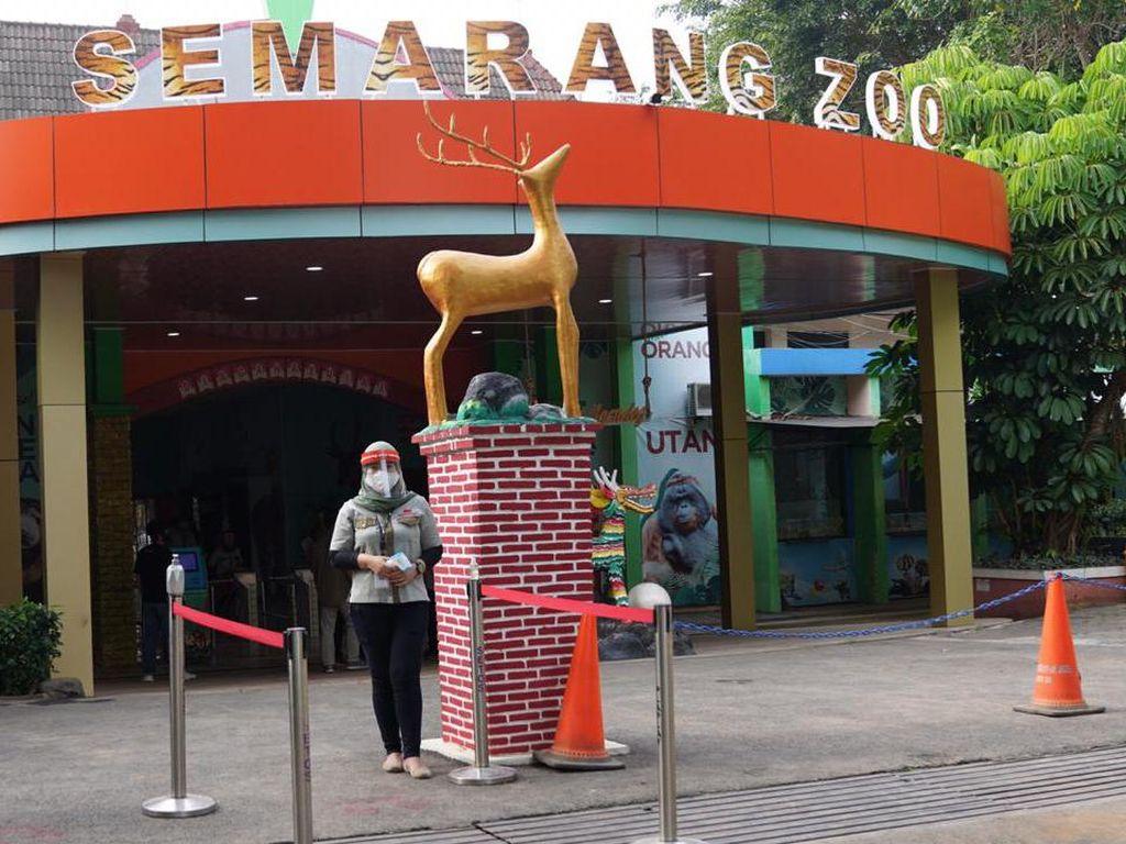 Semarang Zoo Buka Lagi, Ada 2 Harimau Baru Covi dan Vivid
