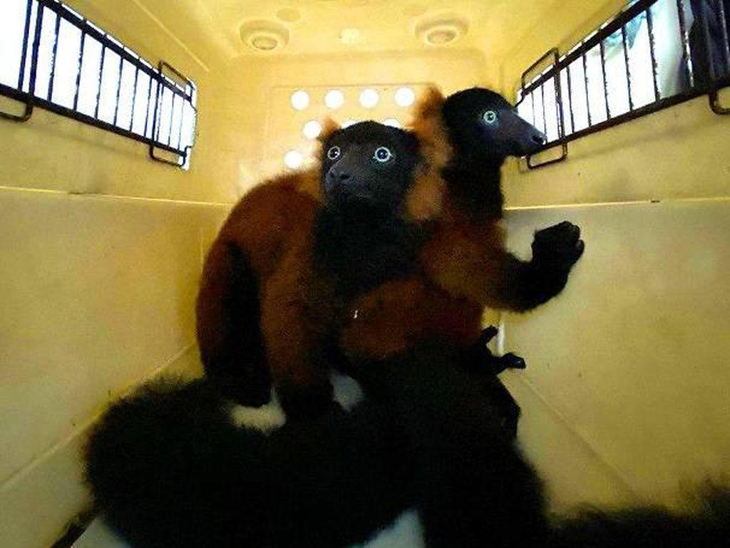 Kabar Baik, Lemur Leher Merah yang Langka Lahir di Singapura