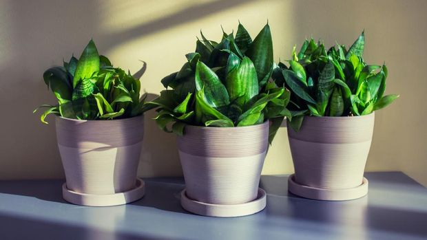 Three homeplants of sanseviera in pots on gray table.
