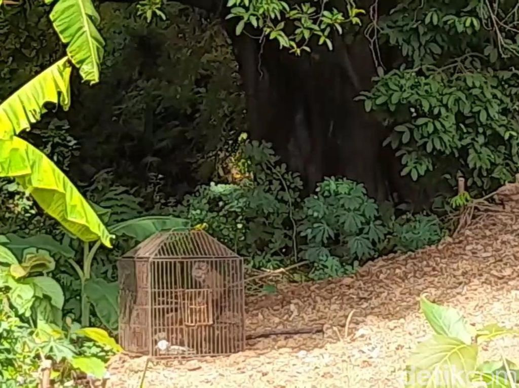 Monyet Liar Teror dan Serang Warga di Brebes, 3 Balita Terluka