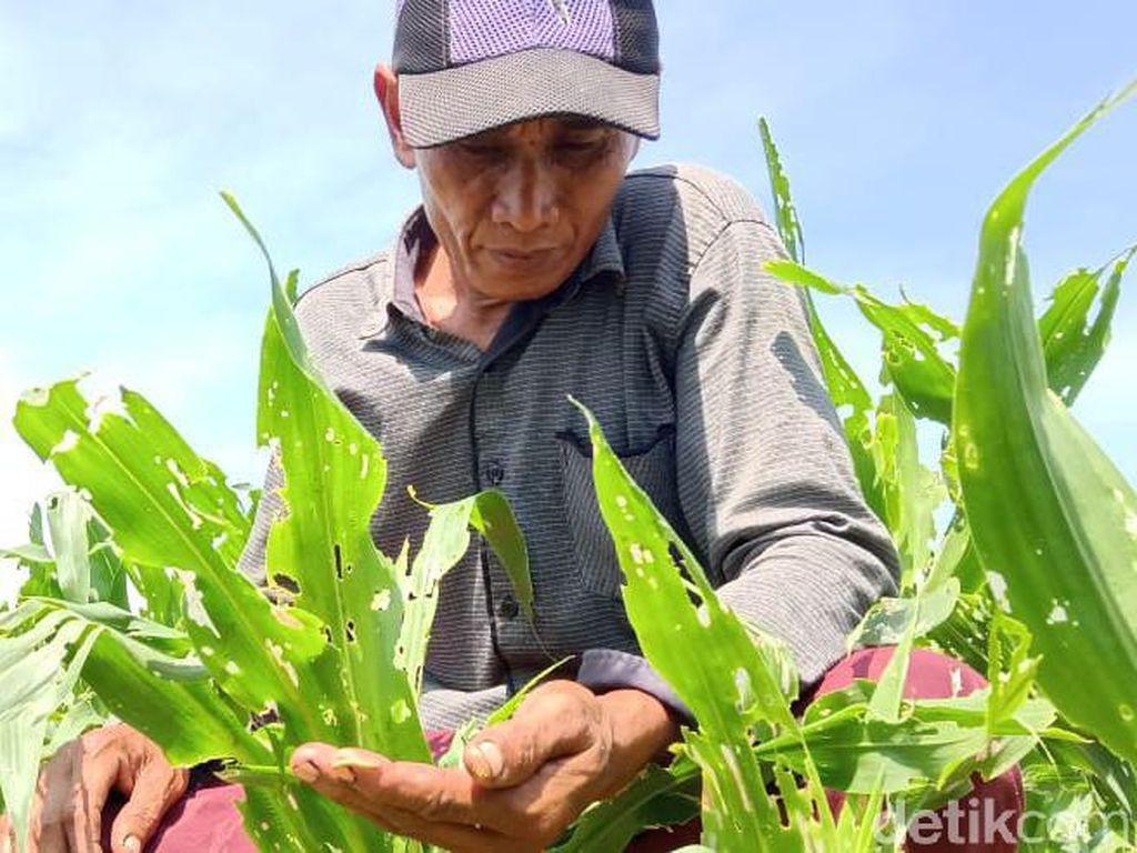 Ulat Grayak Bikin Petani Kota Probolinggo Rugi Jutaan Rupiah