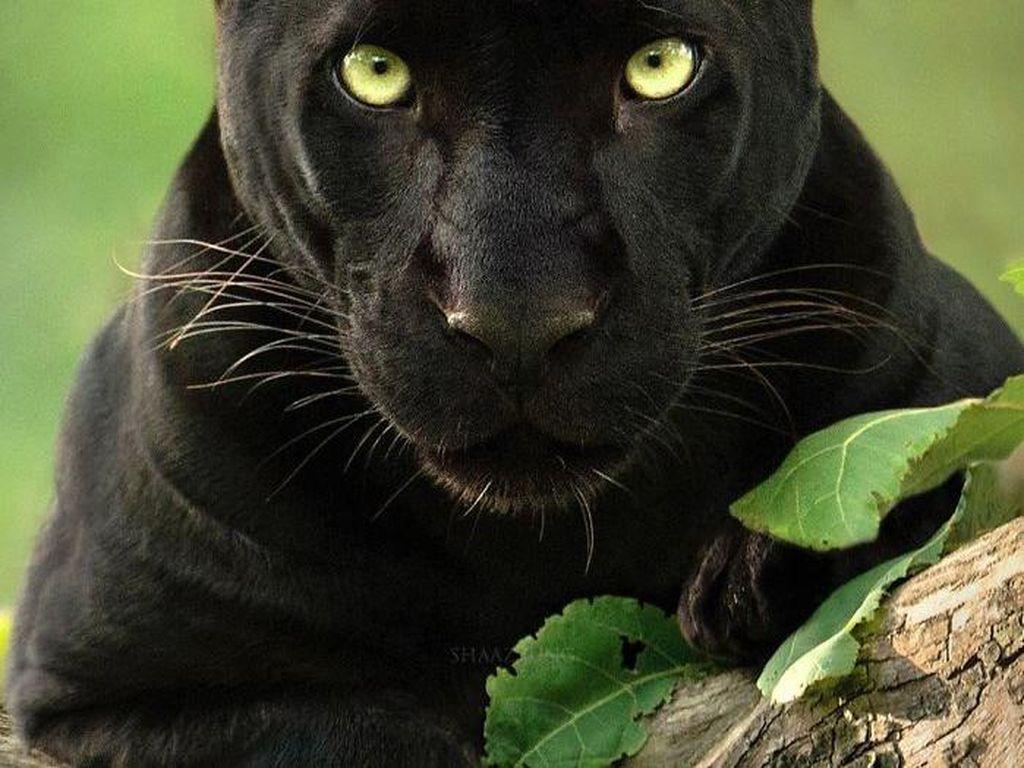 Cerita Fotografer yang Terobsesi dengan Black Panther