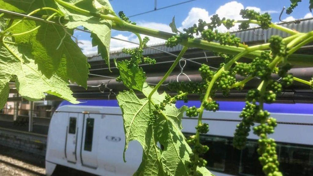 Potret Peron Stasiun Kereta Jepang yang Disulap Jadi Kebun Anggur