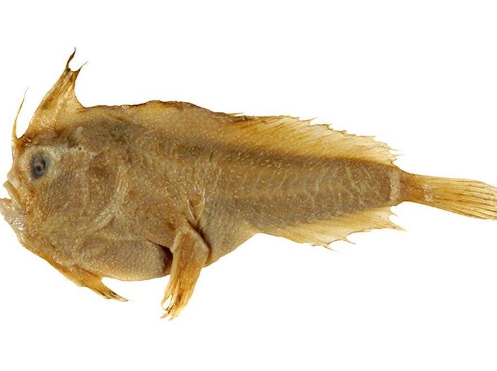 Ikan Bertangan Super Langka Dinyatakan Punah
