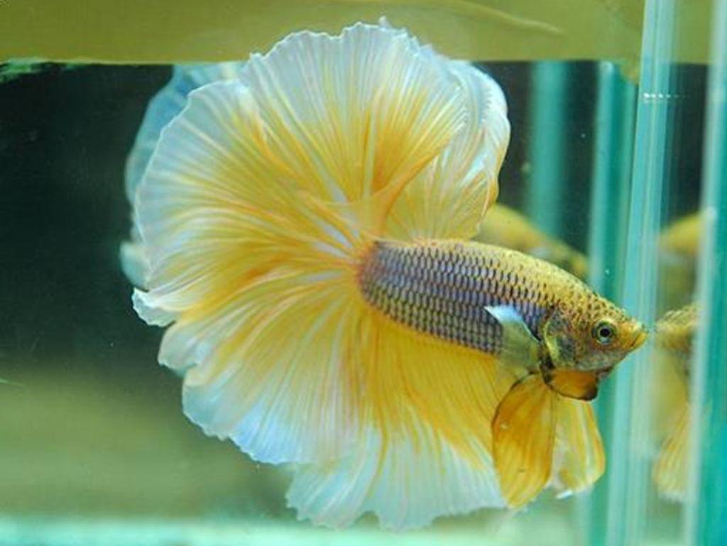 7 Jenis Ikan Cupang yang Mahal, Nggak Bakal Rela Digoreng!