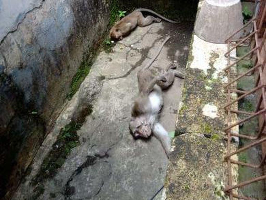 Kesal Kebunnya Dirusak, Oknum Warga Racun Monyet Ekor Panjang di Lembang