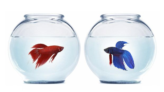 what you looking at fish-o!? two bettas looking for a fight
