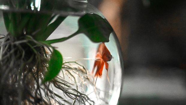 Ciri Ciri Ikan Cupang Sakit Dan Cara Mengobatinya