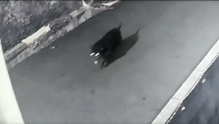 Musang jumbo yang semula dikira babi, terekam CCTV. (Tangkapan layar CCTV Ahmad Dwinanto)