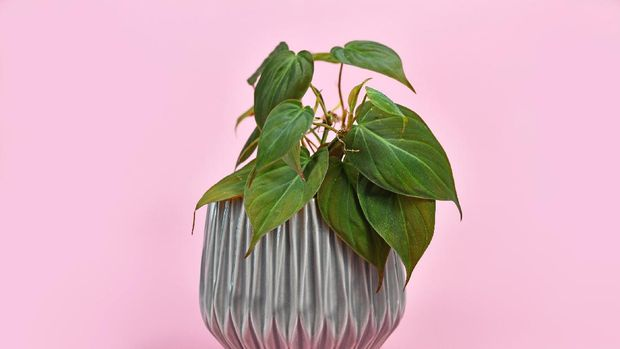 Tropical 'Philodendron Hederaceum Micans' house plant with dark green heart shaped leaves with velvet texture in gray flower pot on pink background