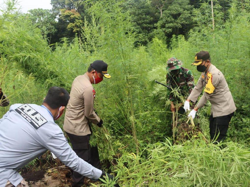 Polisi Musnahkan Ladang Ganja 10 Hektare di Pegunungan Aceh Besar