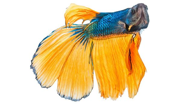 Beautiful yellow blue double tail Betta or Siamese fighting fish in action , Isolated on white background with clipping path.