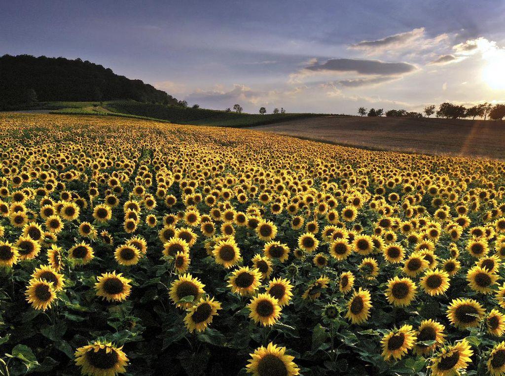 Lansekap Sempurna Hamparan Bunga Matahari dan Senja yang Mempesona