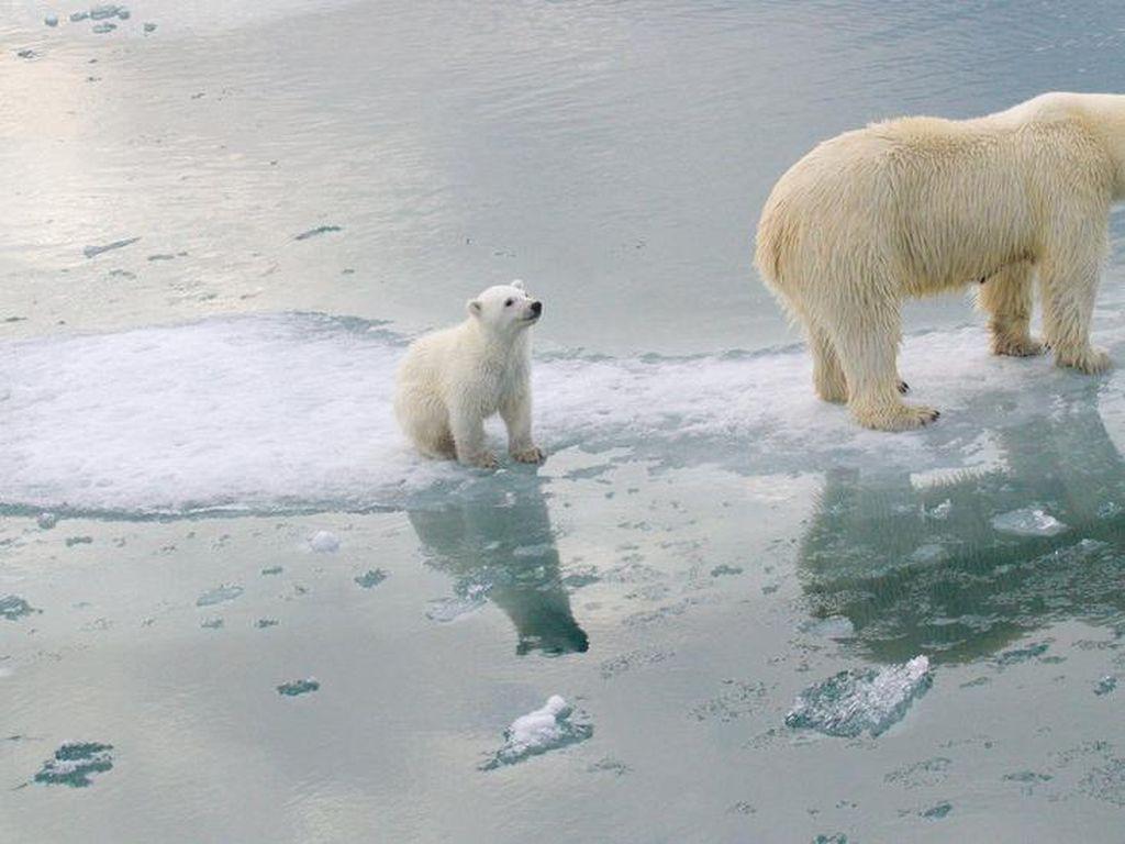Es di Kutub Kian Menyusut, Beruang Kutub Terancam Punah Tahun 2100