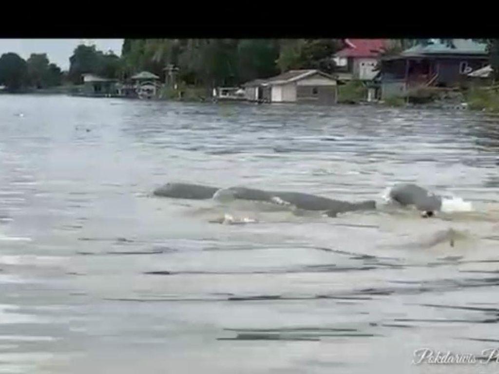 Kemunculan Kawanan Pesut di Sungai Mahakam Dinilai Tak Aneh