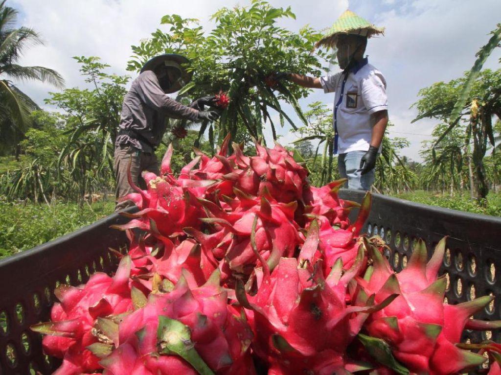 Panen 2.000 Kg, Kebun Buah Naga Bakal Jadi Agrowisata di Lhokseumawe