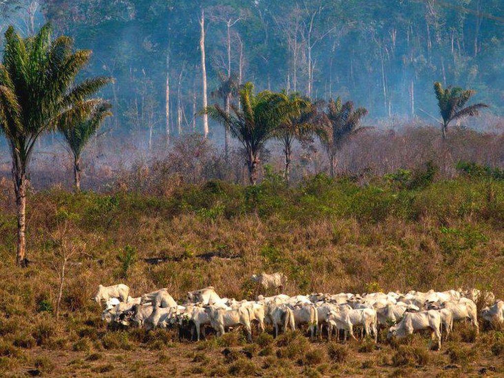 Kita Makan Daging Hewan yang Diberi Makan Kedelai dari Lahan Perusakan Hutan