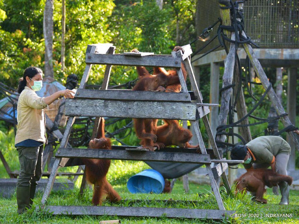 Melihat dari Dekat Pencegahan Corona ke Orangutan di Kalteng