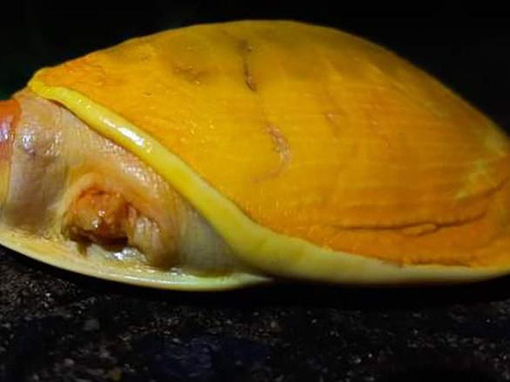 Petani India Temukan Kura-kura Kuning yang Langka