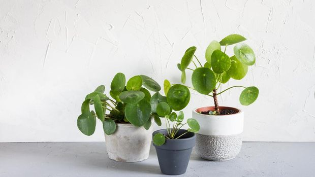 Pilea peperomioides in the pot. Single plant, concrete background.