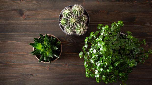 green houseplants flat lay cactus succulent gasteria duval, parodia warasii, pilea depressa