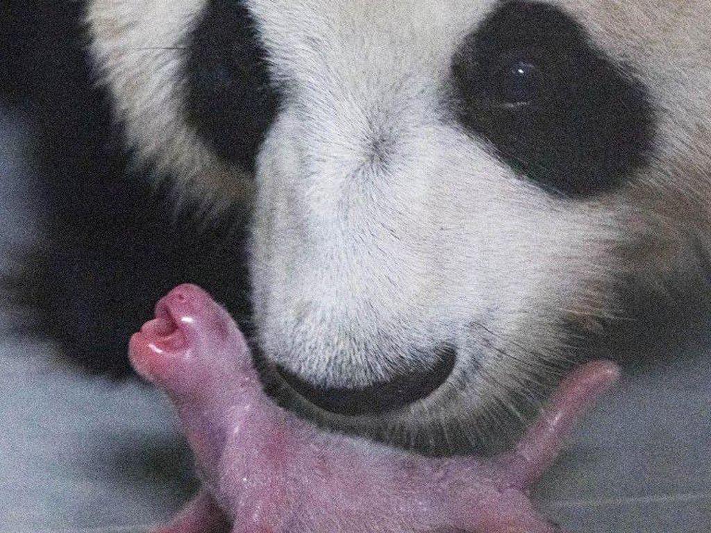 Pertama Kalinya, Anak Panda Raksasa Lahir di Korea Selatan