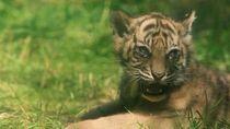 Harimau Sumatera Lahir di Kebun Binatang Polandia
