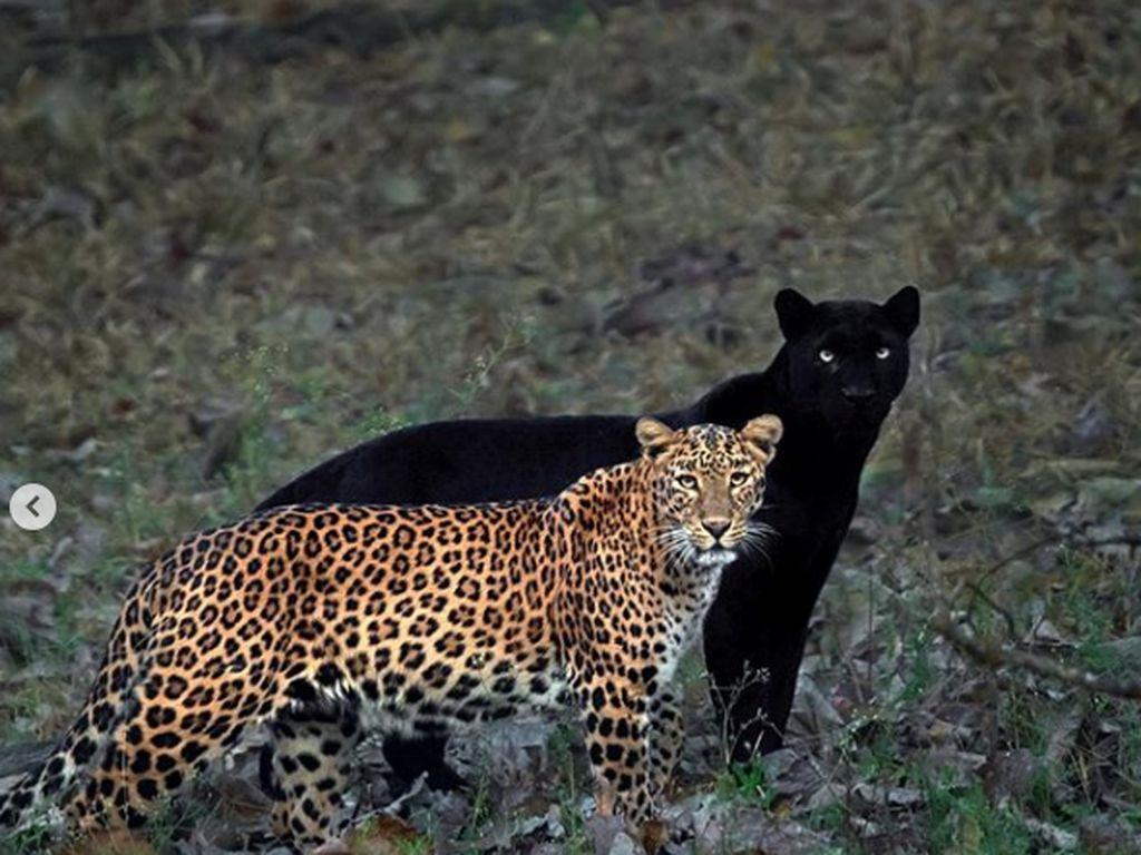 Epiknya Black Panther yang Menjadi Bayang-bayang Macan Tutul