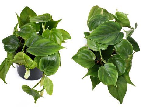 Ivy in a pot