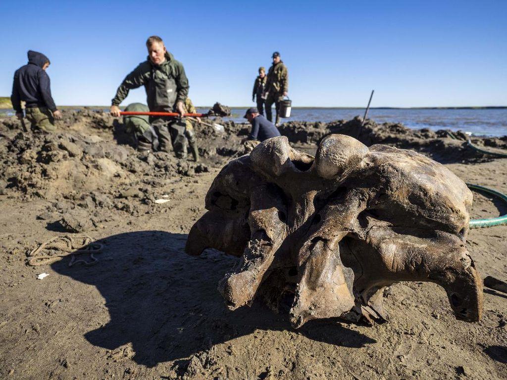 Lihat Yuk Penggalian Kerangka Mammoth
