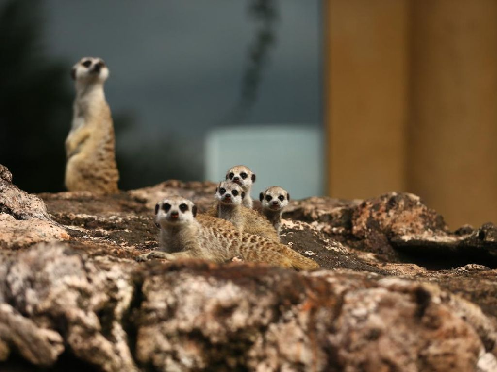 Mengenal Meerkat, Mamalia Lucu Teman Simba Lion King